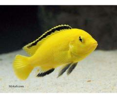 Cichlid fish,hand tamed, 6 colors,1499/- mein 6 pieces, free delivery
